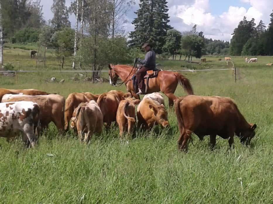 Launosten Kartano cowboy paimentaa karjaa ratsastaen