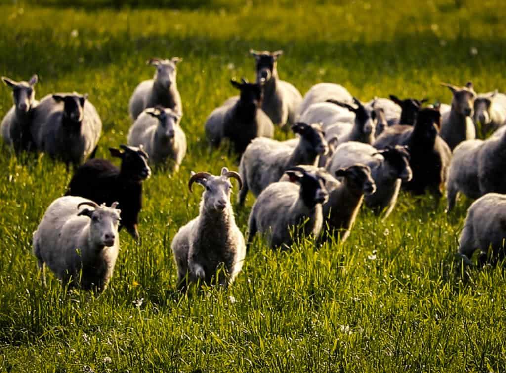 Lampaat kirmaavat niityllä